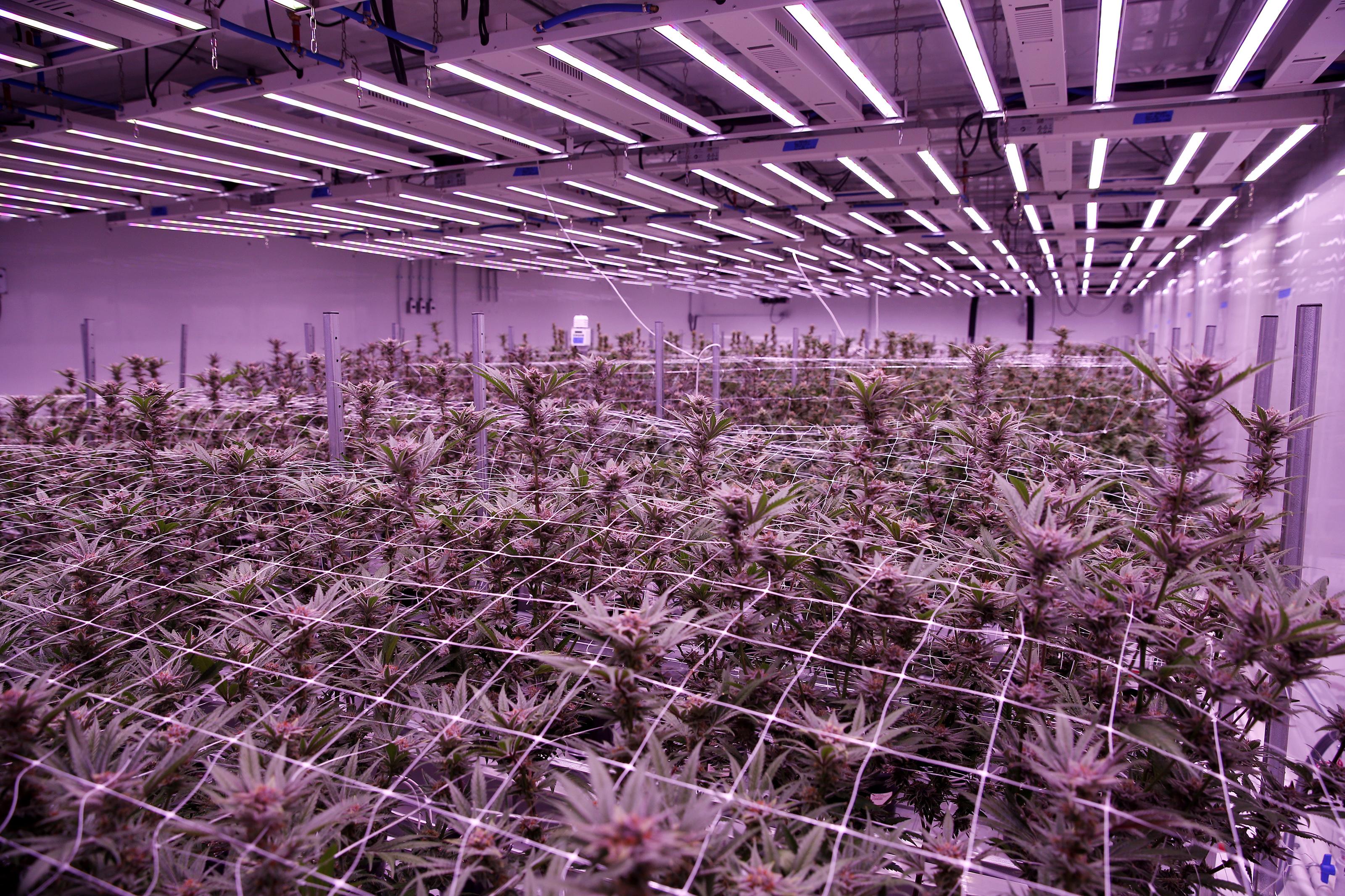 Is Massachusetts growing enough pot? - The Boston Globe