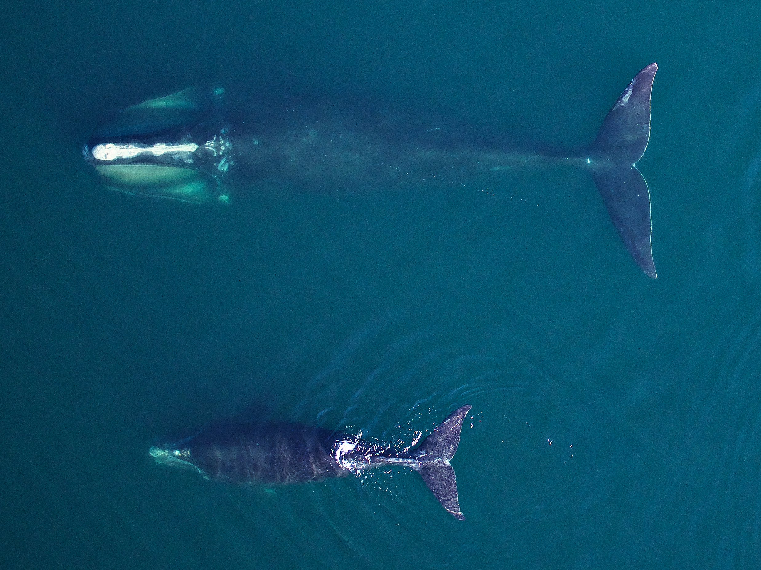 New regulations are a matter of life and extinction for right whales