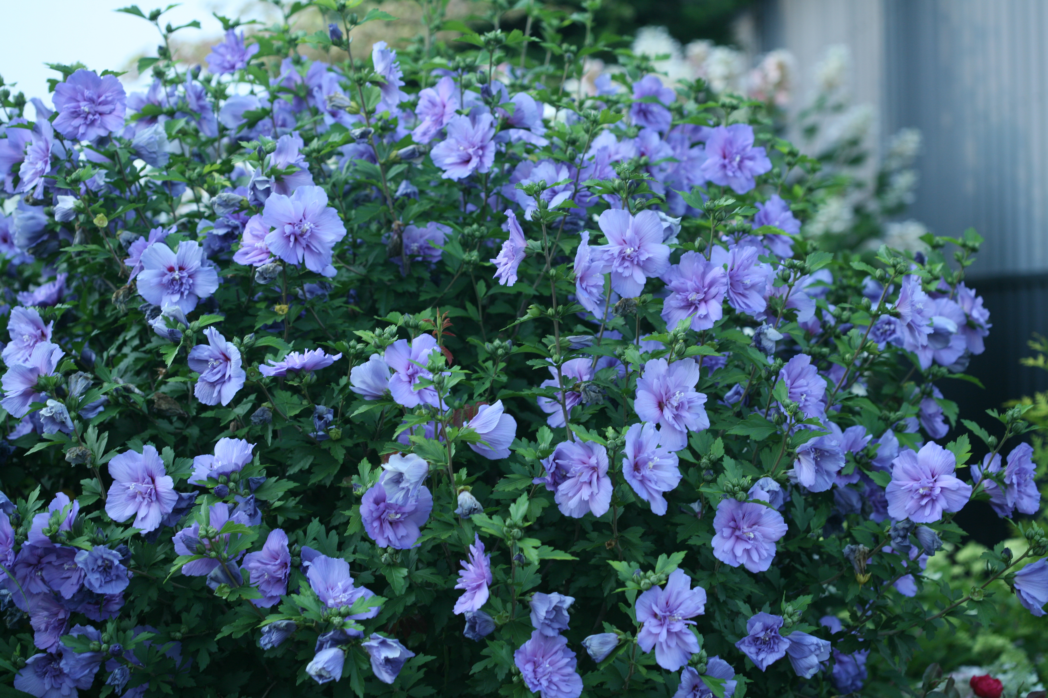 Gardeners Seem To Dig Rose Of Sharon Again The Boston Globe
