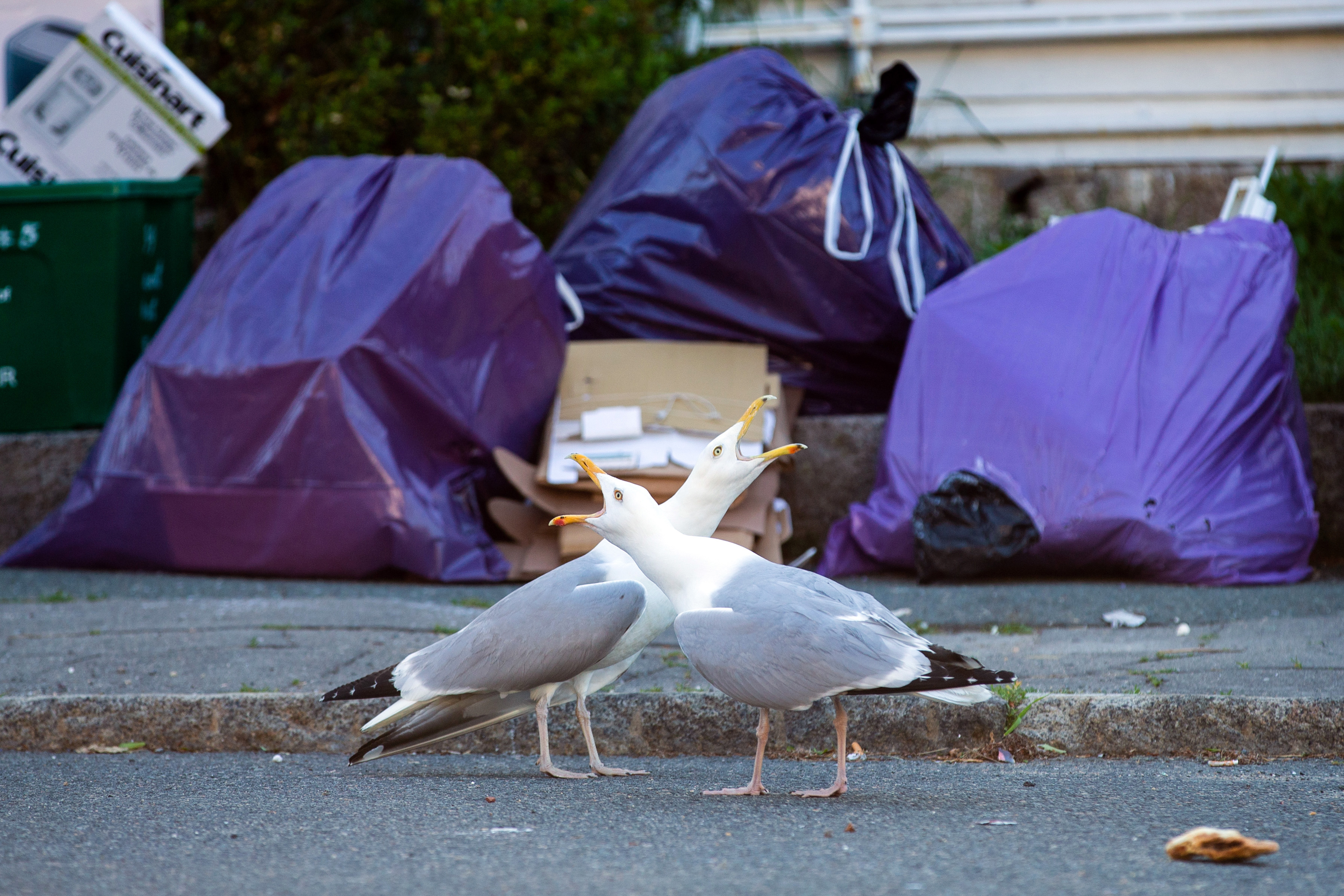 The gull next door: Some Gloucester residents can't stand