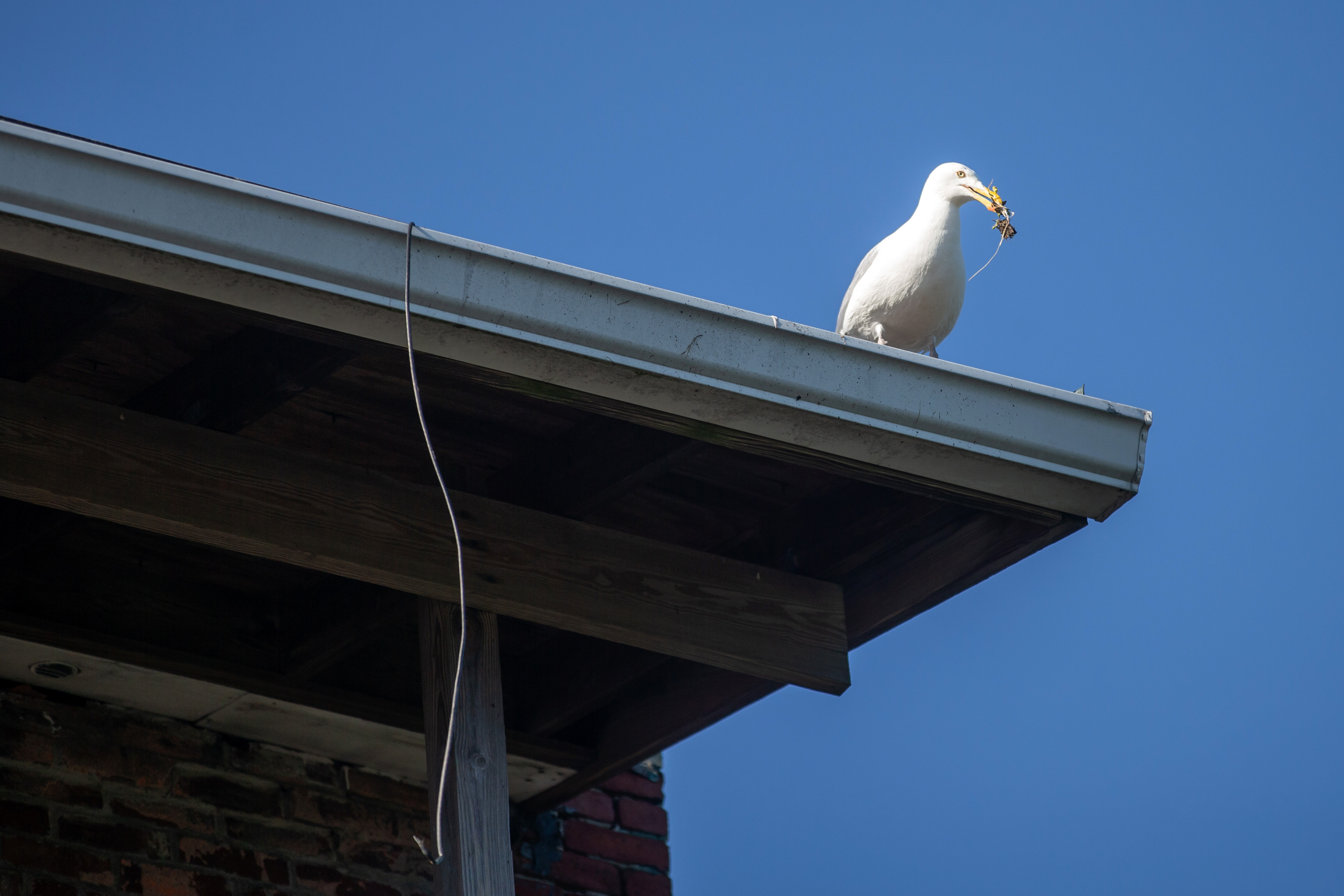The gull next door: Some Gloucester residents can't stand all the