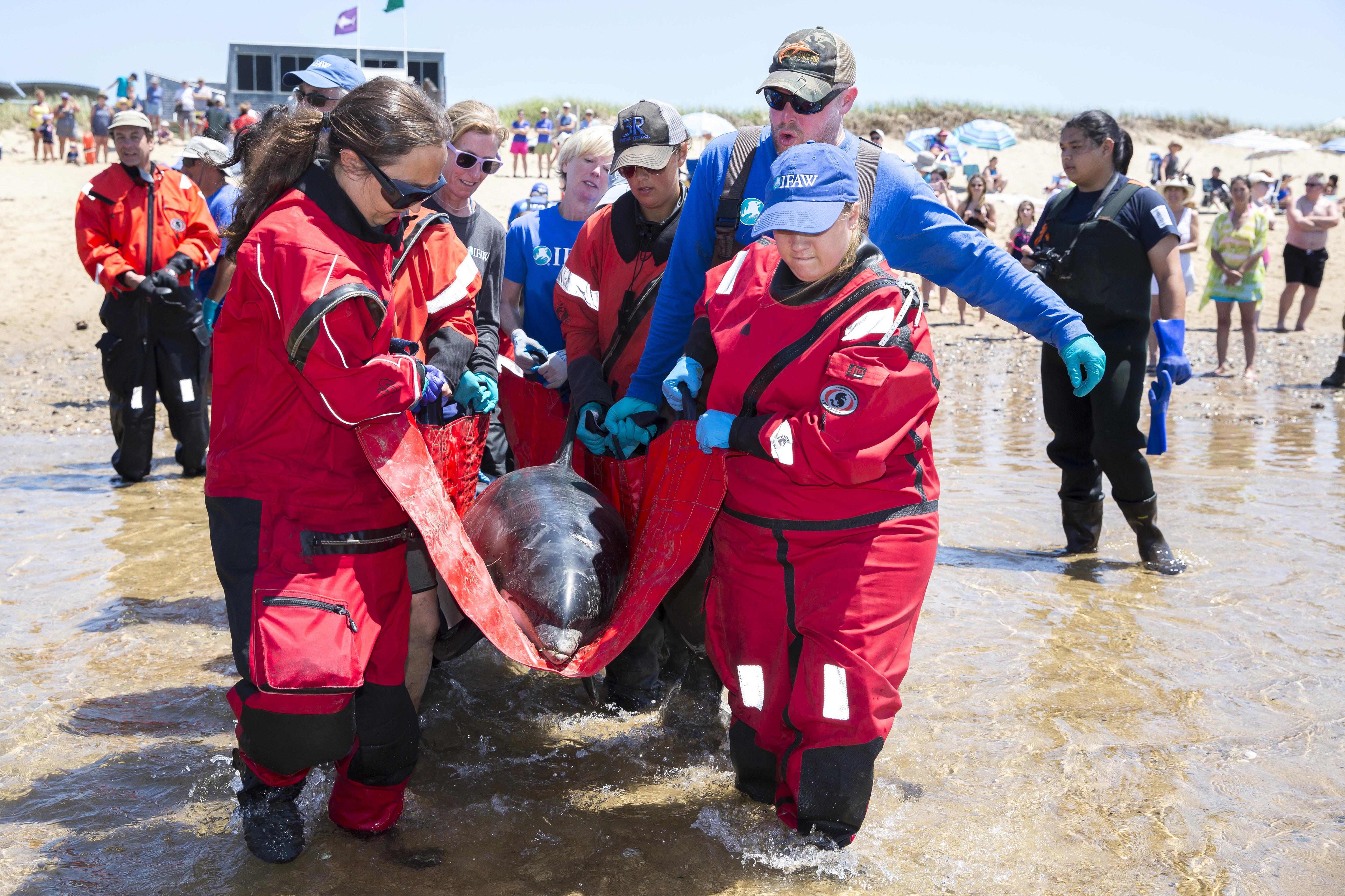 pas cher pour réduction grande variété de styles 60% pas cher Rescuers work to save dolphins stranded on Cape Cod; 10 ...